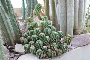 Kaktus im Gewächshaus im Berggarten, Hannover, 2013