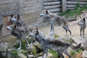 Wolfsrudel im Zoo Hannover, 2015
