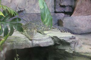 Kuba-Krokodil, Sealife, Hannover, 2015