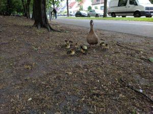 Entenfamilie auf der General-Wever-Straße - Ganz schön weit weg vom nächsten Wasser