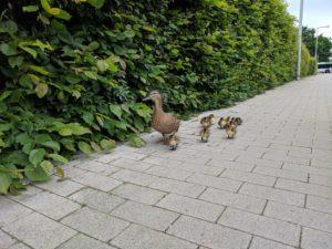 Entenfamilie bei den Kleingärten nördlich vom Kanal - Noch immer alle beisammen