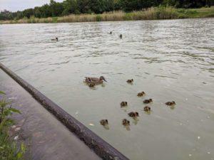 Die ganze Entenfamilie ist am Mittellandkanal angekommen