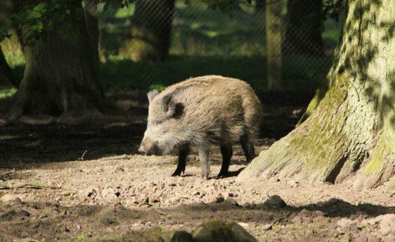 Wildschwein, Tierpark, Hannover, 2014