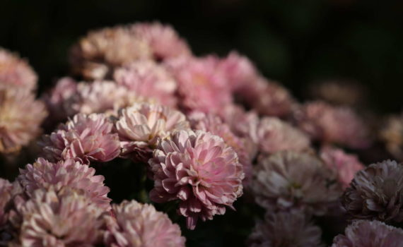 Chrysantheme, Hannover, 2018