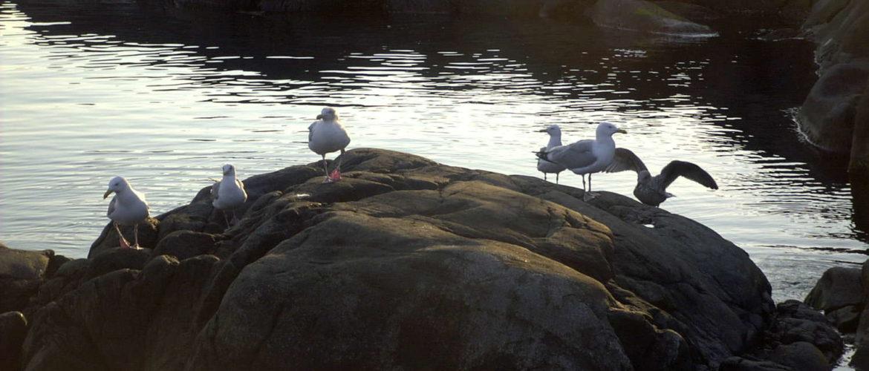 Möwen auf einer Schäreninsel vor Göteborg, Juli 2002