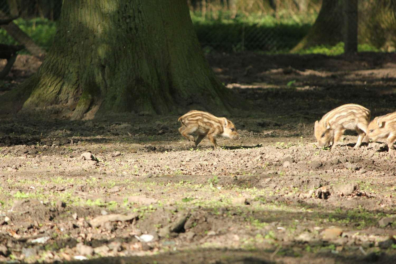 Frischlinge im Tierpark, Hannover, April 2014
