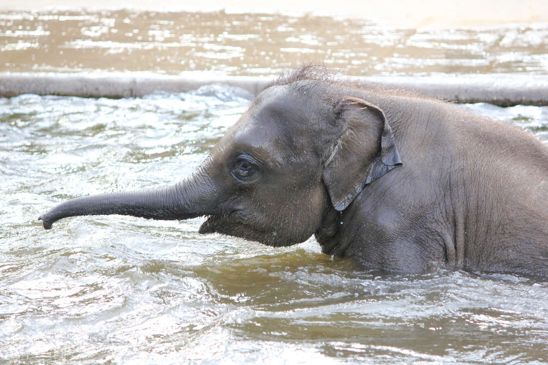 Elefant im Zoo Hannover, Hannover, Mai 2015
