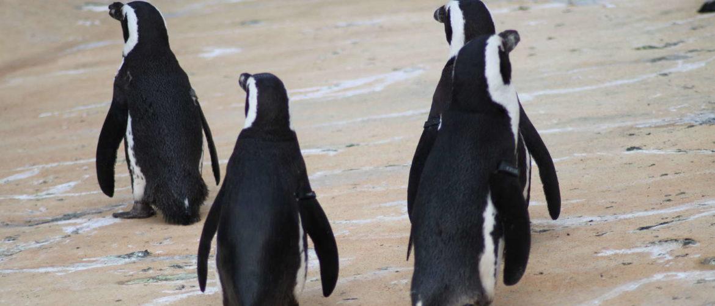 Pinguine im Zoo, Hannover, Mai 2015